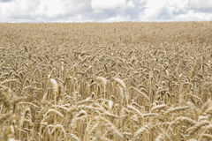 Field of ripe rye allow great harvest Royalty Free Stock Image