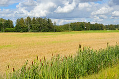 Field with ripe rye Stock Photos