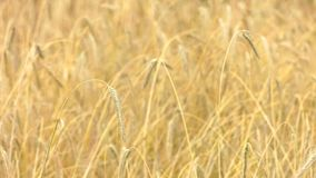 Field ripe rye. The yellow ears swing from the wind stock video footage