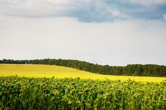 Field of ripe sunflower, landscape Royalty Free Stock Photography