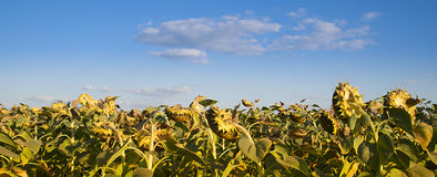Field of ripe sunflowers Royalty Free Stock Photography