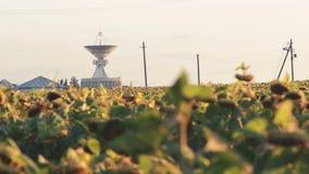 Field of ripe sunflowerson sky background stock video