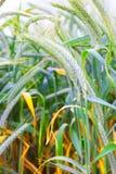 Field of ripe triticale ears Stock Photo