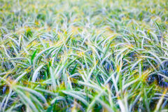 Field of ripe triticale ears Stock Photography