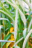 Field of ripe triticale ears Royalty Free Stock Photos