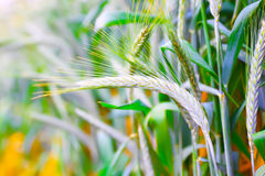 Field of ripe triticale ears Royalty Free Stock Image