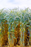 Field of ripe triticale ears Stock Photos
