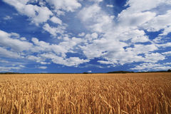Field of ripe wheat. Stock Photos