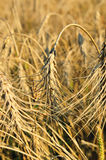 Field with ripe wheat, Royalty Free Stock Image