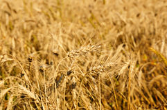 Field with ripe wheat, Royalty Free Stock Images