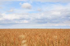 Field of ripe wheat. Royalty Free Stock Photo