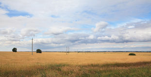 Field of ripe wheat. Royalty Free Stock Images