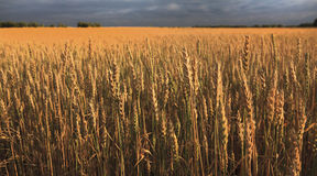 Field of ripe wheat. Stock Image