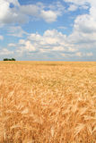 Field of ripe wheat. Cloudy sky over it stock photography