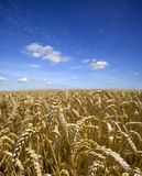 Field Of Ripe Wheat. A field of ripe wheat beneath a blue summer sky. Includes copy space Stock Image