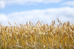 Field of ripe wheat against blue sky Stock Photos