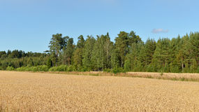 Field of ripe wheat. Aland Islands, Finland royalty free stock photography