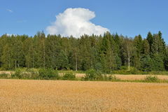 Field of ripe wheat. Aland Islands, Finland royalty free stock images