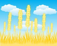 Field with ripe wheat. The Autumn field with ripe wheat.Vector illustration Stock Photo