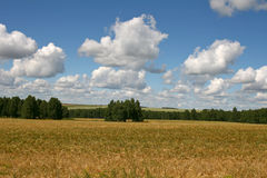 A field of ripe wheat on a background of blue sky and birch grove. Summer landscape. Stock Photography
