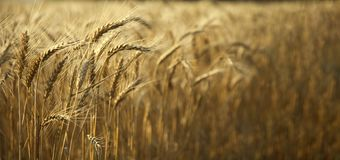 Field of ripe wheat. On a clear sunny day Royalty Free Stock Photos