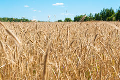 Field with ripe wheat Stock Photography