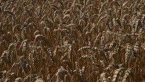 Field of ripe wheat closeup stock video footage