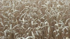 Field of ripe wheat closeup stock video