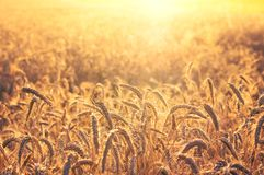 Rural landscape. Field of ripe wheat on colorful sunset. Rural landscape Royalty Free Stock Photos