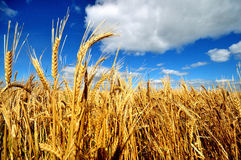 A field of ripe wheat in County Wexford, Ireland Royalty Free Stock Photo