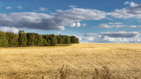 Field with ripe wheat. On the edge of the forest in cloudy weather Royalty Free Stock Photos