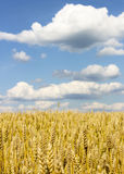 Field of ripe wheat. Endless wheat field, receding into the distance beyond the horizon Royalty Free Stock Photography