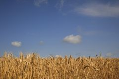 Field of ripe wheat. On a clear sunny day Stock Image