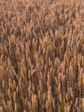 Field of ripe wheat. Field of ripe golden wheat ready to harvest royalty free stock photography