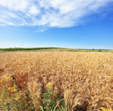 A field of ripe wheat Stock Images