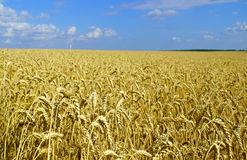 Field of ripe wheat before harvest. (summer landscape) stock image