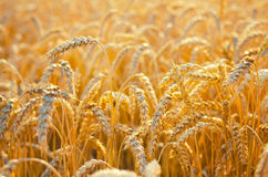 Field of ripe wheat before harvest on sunny summer day Stock Photography