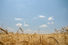 Field of ripe wheat. Wheat field illuminated by the sun Stock Image