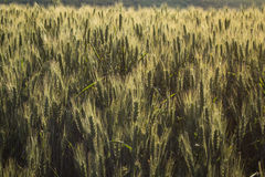 Field of ripe wheat Stock Photography