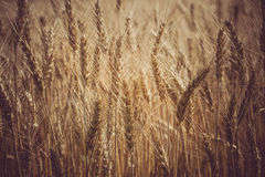 Field of ripe wheat. Macro photo spica grains. Closeup field of ripe wheat. Macro photo of grain Royalty Free Stock Images