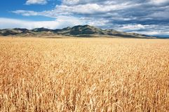 Field of ripe wheat and mountains Royalty Free Stock Image