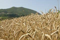 Field of ripe wheat Stock Image