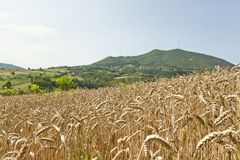 Field of ripe wheat Royalty Free Stock Photos