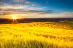Field of ripe wheat in the rays of the rising sun. Royalty Free Stock Photo