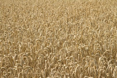 Field of ripe wheat Royalty Free Stock Photo