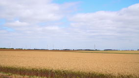 Field with ripe wheat with the sky stock footage