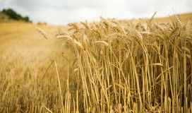Field of ripe wheat spikes Stock Photos
