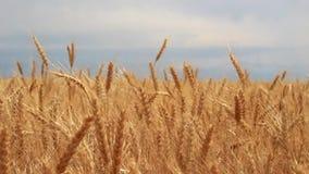 Field of ripe wheat stock video footage