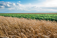 Field of ripe wheat Stock Images