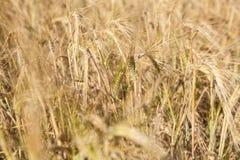 Field of ripe wheat Stock Photography